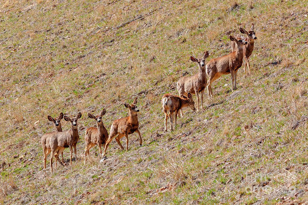 Photograph - Herd Of Mule Deer In The Sun by Steve Krull