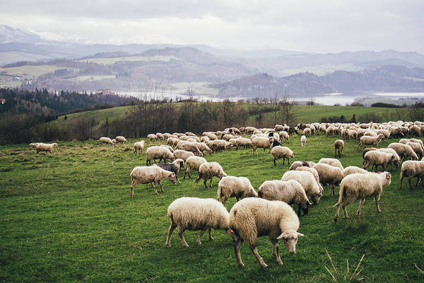 Wall Art - Photograph - Herd Of Sheep On Hill by Pati Photography