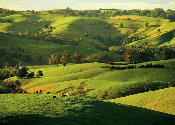 Grazing Photograph - Hereford Beef Cattle Grazing At Arawata by Australian Scenics