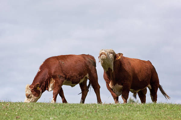 Ranch Photograph - Hereford Cow & Bull by Emholk
