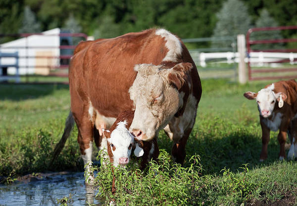 Domestic Cattle Photograph - Hereford Cow & Calf by Emholk