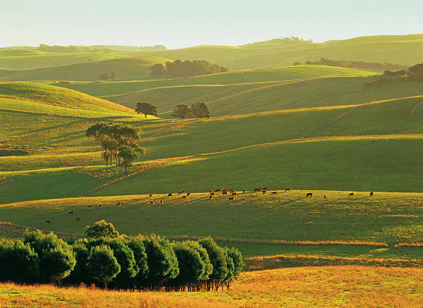 Grazing Photograph - Herefords Grazing On Rolling Hills Near by Australian Scenics