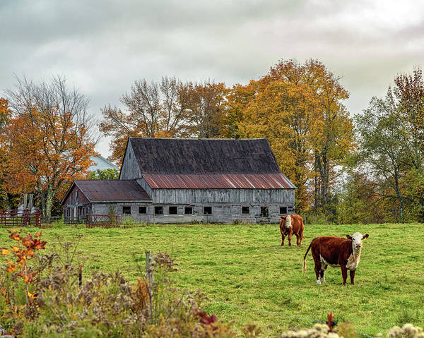 Photograph - Herefords In Fall by Rod Best