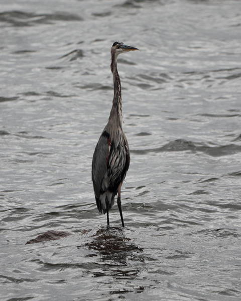 Photograph - Heron 2967 by John Moyer