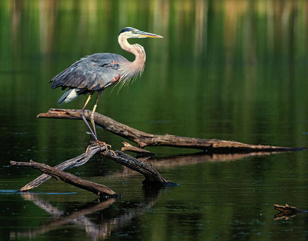 Photograph - Heron 6 by Richard Kopchock