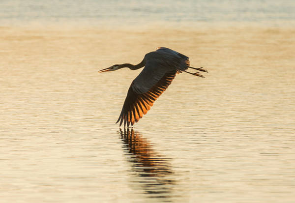 Photograph - Heron At Sunset by Loree Johnson