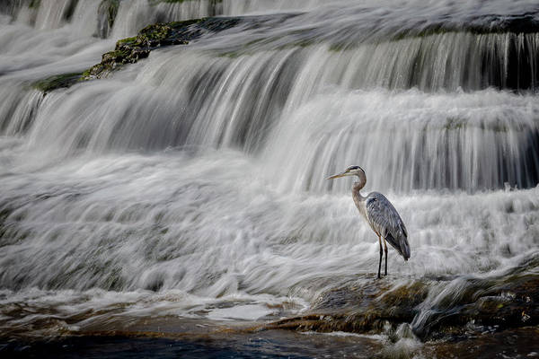 Napanee Photograph - Heron Fishing by Dan Fleury