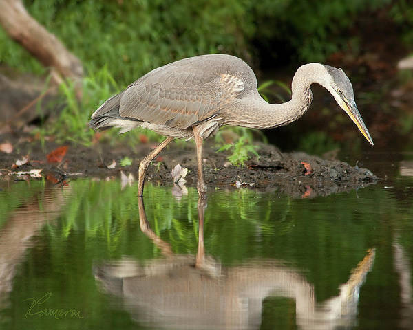 Photograph -  Heron Fishing by Tom Cameron