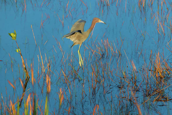 Photograph - Heron Flying In For Landing - Paintogaphy by Dan Friend