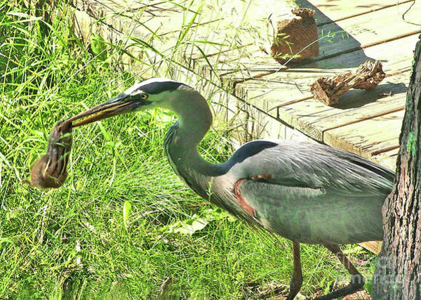 Photograph - Heron Holding Chipmunk by Debbie Stahre
