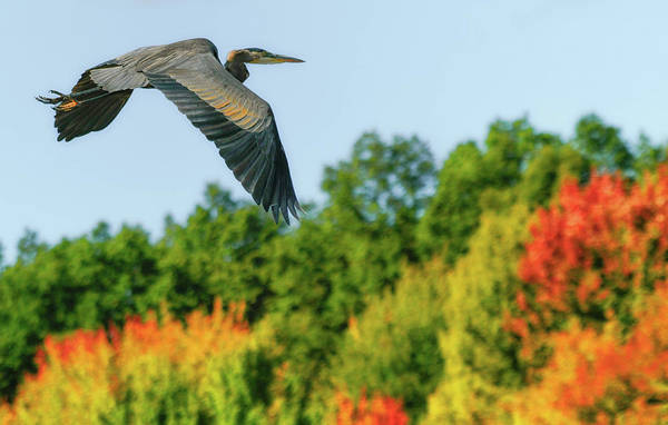 Photograph - Heron In Autumn  by Richard Kopchock