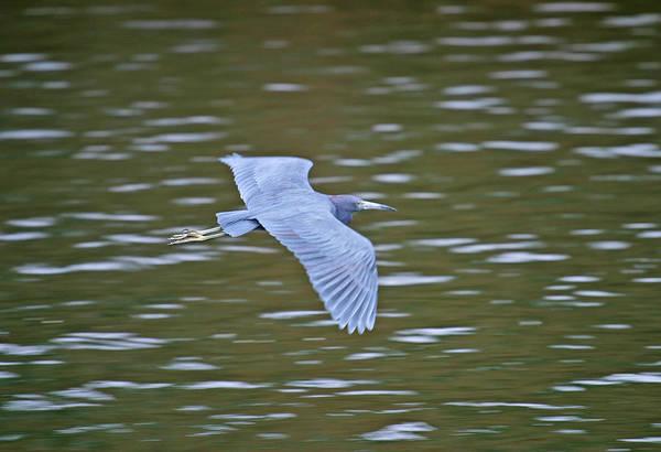 Photograph - Heron In Flight by Anthony Jones