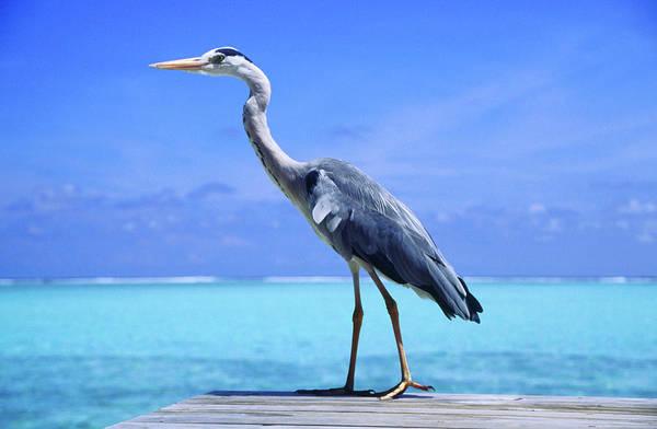 The Maldives Photograph - Heron by James Lyon