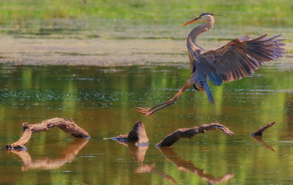 Photograph - Heron Landing  by Richard Kopchock