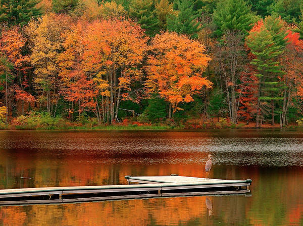 New England Autumn Photograph - Heron On A Pond In Autumn by Myloupe/uig