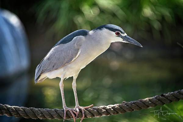 Photograph - Heron On A Rope by T A Davies
