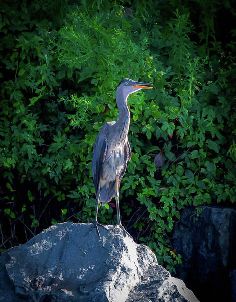 Wall Art - Photograph - Heron On The Rocks by Lora J Wilson