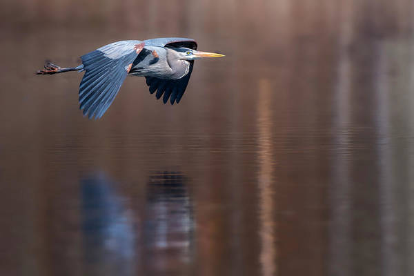 Photograph - Heron Reflections by Bill Wakeley