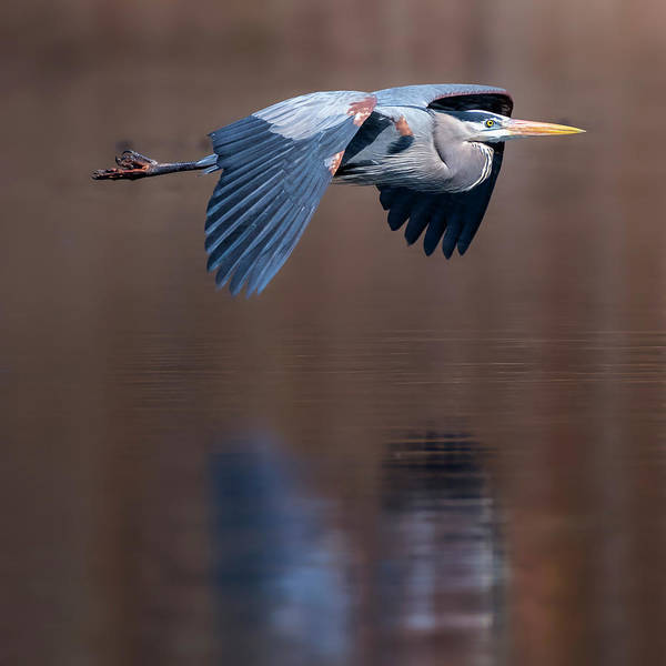 Photograph - Heron Reflections Square by Bill Wakeley