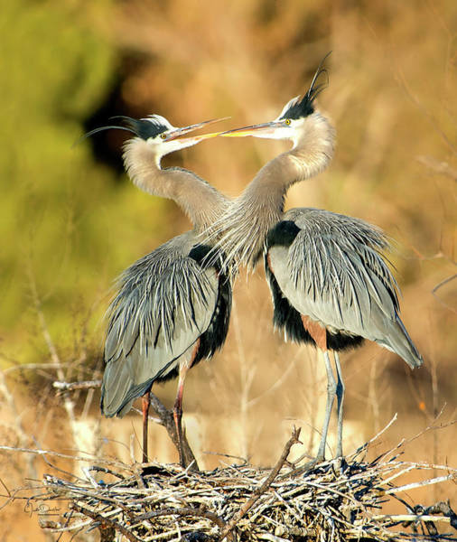 Photograph - Heron Sweeties by Judi Dressler