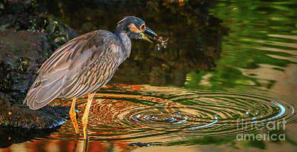 Photograph - Heron With Breakfast Crab by Tom Claud