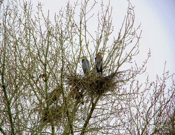 Wall Art - Photograph - Herons In A Rookery by Jeff Swan