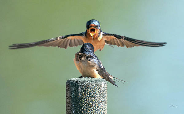 Photograph - Hey, Babe, Let's Rock N Roll.  Barn Swallows by Judi Dressler