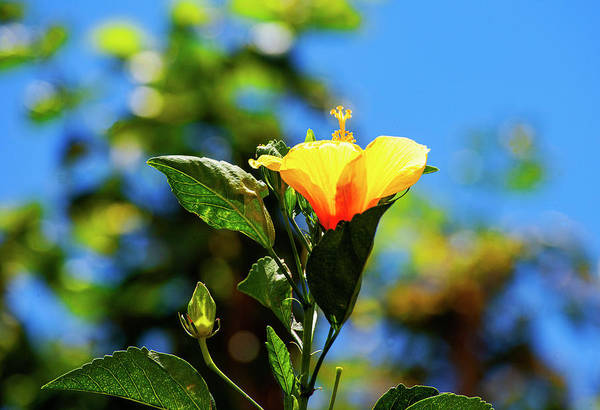 Photograph - Hibiscus Blooming by Anthony Jones
