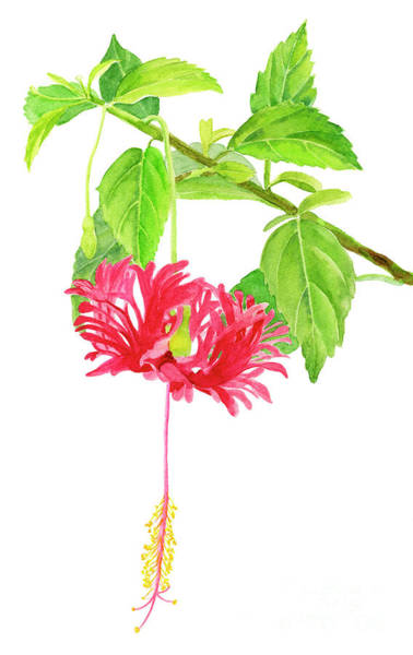 Wall Art - Painting - Hibiscus Chinese Red Lantern On White by Sharon Freeman