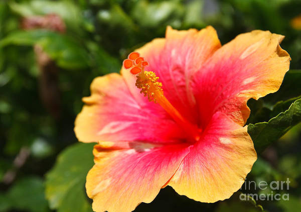 Hawaiian Wall Art - Photograph - Hibiscus Flower Pollen by Photonewman