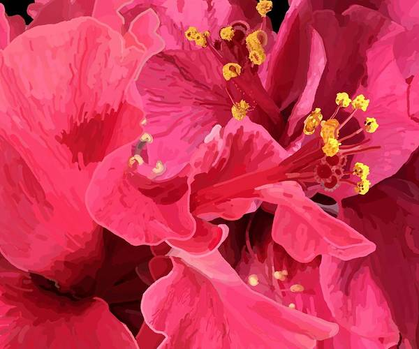 Drawing - Hibiscus Large Pink Double by Joan Stratton