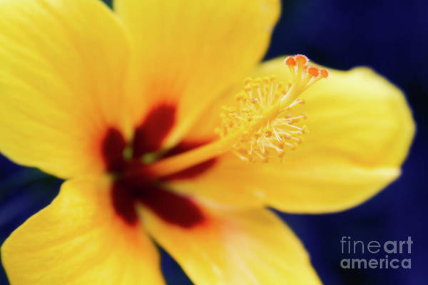 Photograph - Hibiscus Lemon Drop Tropical Fancy Flowers by Sharon Mau