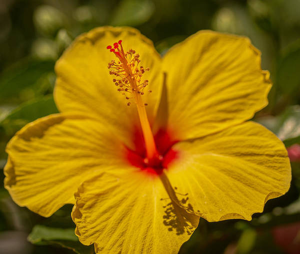 Photograph - Hibiscus Macro by Keith Smith