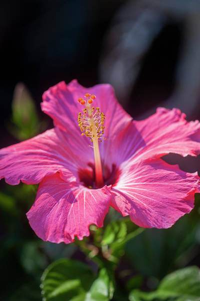 Photograph - Hibiscus Painted Lady 119 by Rich Franco