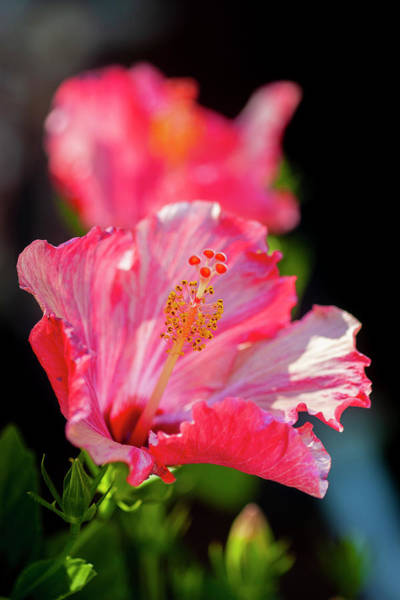 Photograph - Hibiscus Painted Lady 122 by Rich Franco