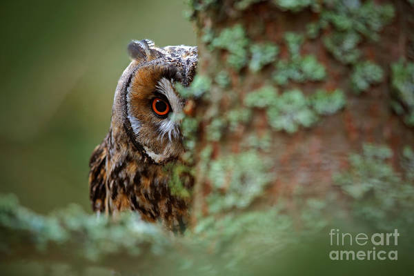 Wise Wall Art - Photograph - Hidden Portrait Of Long-eared Owl With by Ondrej Prosicky