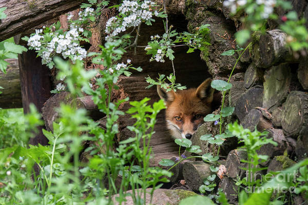 Photograph - Hidden Red Fox by Arterra Picture Library
