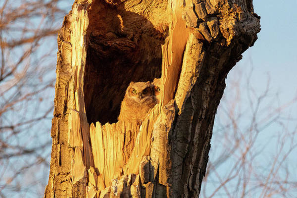 Photograph - Hide And Seek With Owlets by Tony Hake