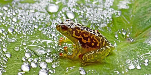 Photograph - Hieroglyphic Reed Frog Bathing In Dew by KJ Swan