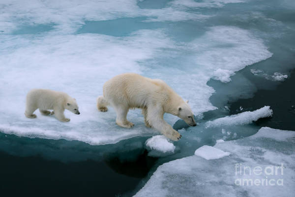 Wall Art - Photograph - High Angle Of Mother Polar Bear And Cub by Floridastock