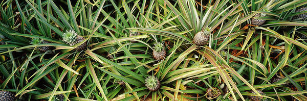Wall Art - Photograph - High Angle View Of Pineapples by Panoramic Images