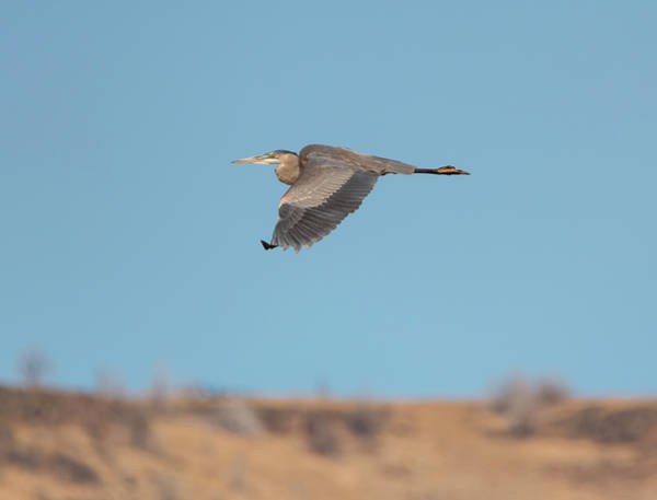 Photograph - High Desert Heron by Loree Johnson