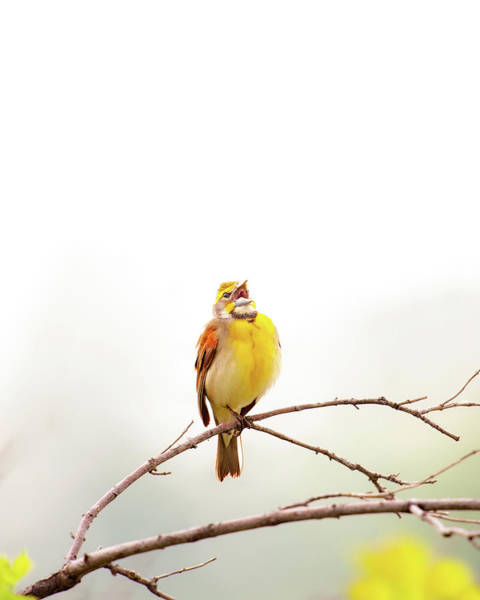 Photograph - High Key Dickcissel by Jeff Phillippi