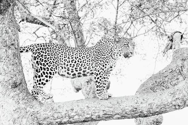 Photograph - High Key Leopard by Mark Hunter