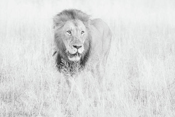 Photograph - High Key Lion In Grassland by Mark Hunter