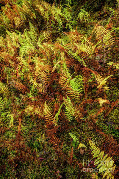 Photograph - Highland Autumn Ferns by Thomas R Fletcher