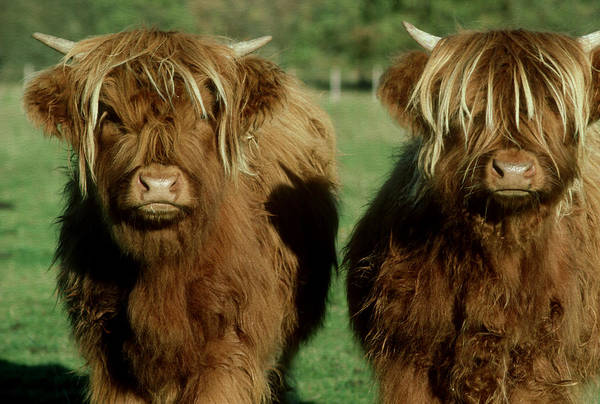 Photograph - Highland Cattle, Bos Taurus, 9 Month by Alastair Shay