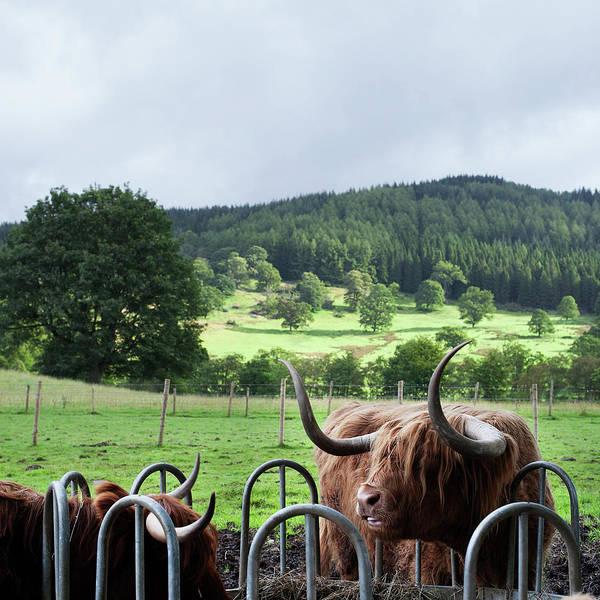 Milk Farm Photograph - Highland Cattle by Deimagine