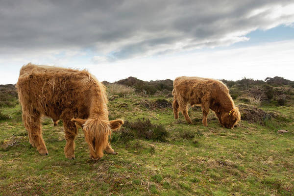 Photograph - Highland Cattle Feeding At Baslow Edge by Scott Lyons