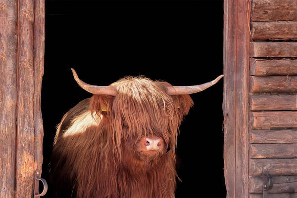 Black Background Photograph - Highland Cattle In Barn Door by Kerrick
